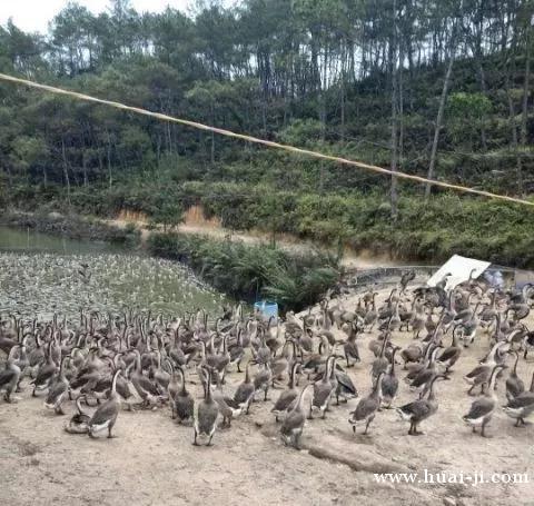 诗洞双井村养殖场大量肉鹅出售(可配送到各村查岗点)